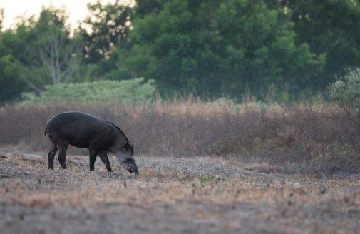 Tapir in a cleared field in early morning..