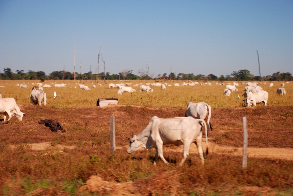 Cattle farm in the Amazon