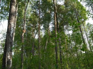 Western Siberia forest.