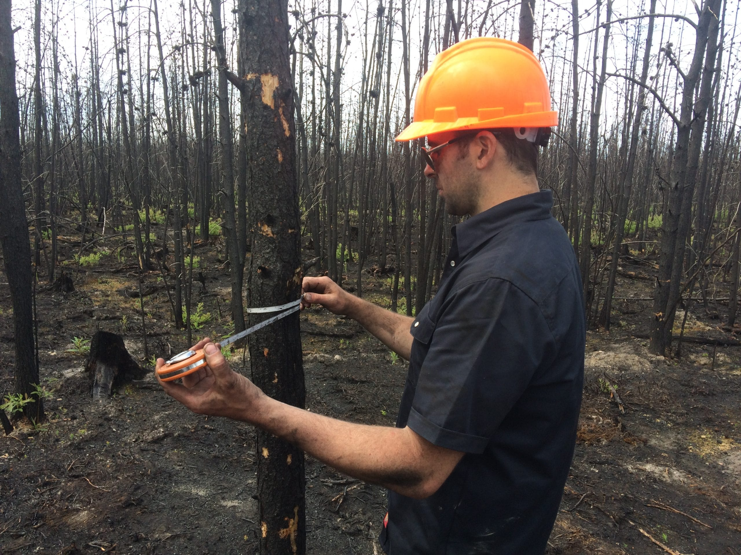 Dr Rogers measuring a tree in a fire-ravaged forest.