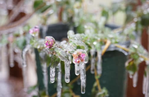 potted flowering plant covered in ice