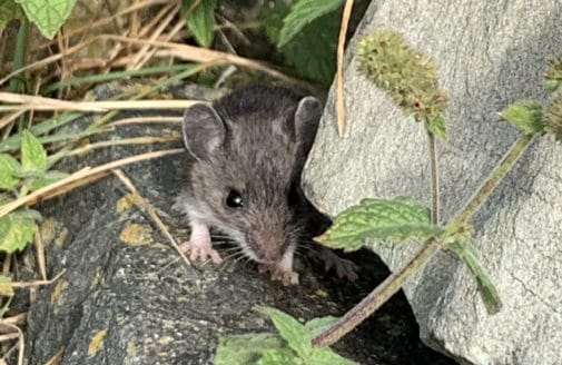 mouse partially hiding in rocks