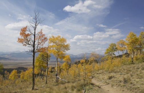 sparse aspen trees in Colorado
