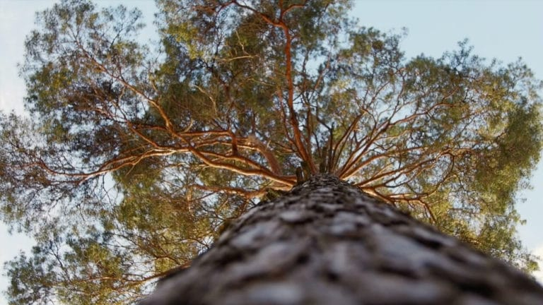 looking up along the trunk into a tall tree