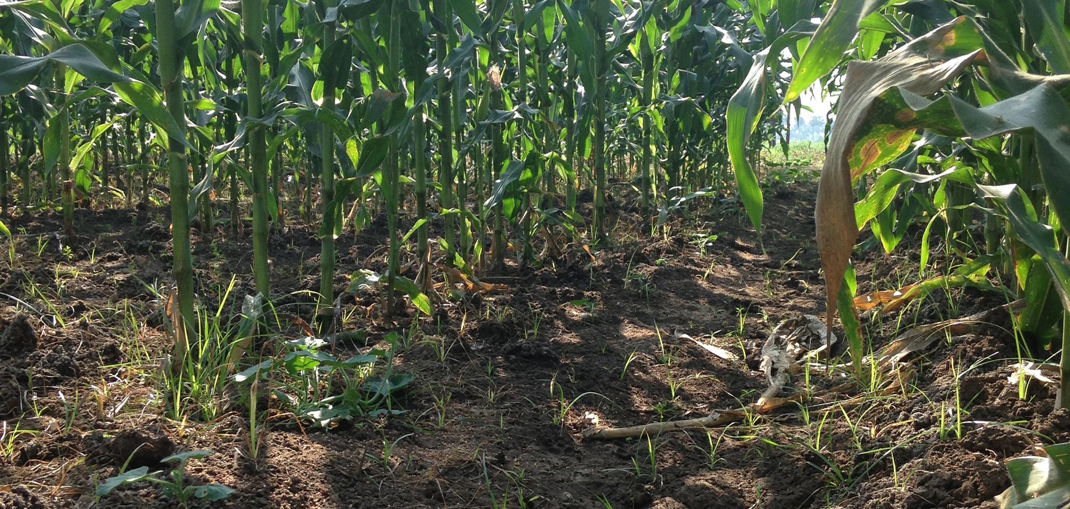 ground view of cornfield soil